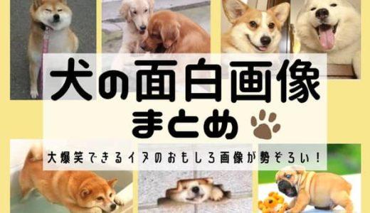 犬の面白画像まとめ!大爆笑できるイヌのおもしろ画像が勢ぞろい!
